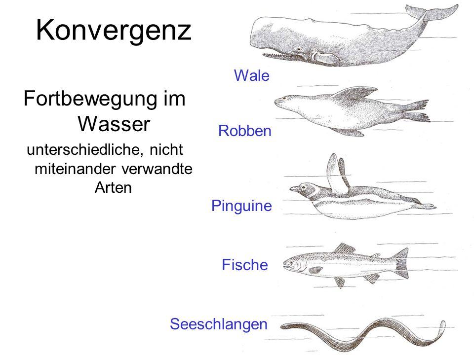 Fortbewegung im Wasser unterschiedliche, nicht miteinander verwandte Arten Seeschlangen Fische Pinguine Robben Wale Konvergenz
