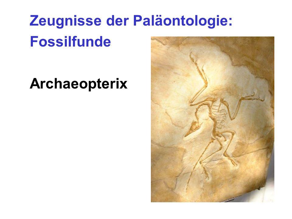 Zeugnisse der Paläontologie: Fossilfunde Archaeopterix