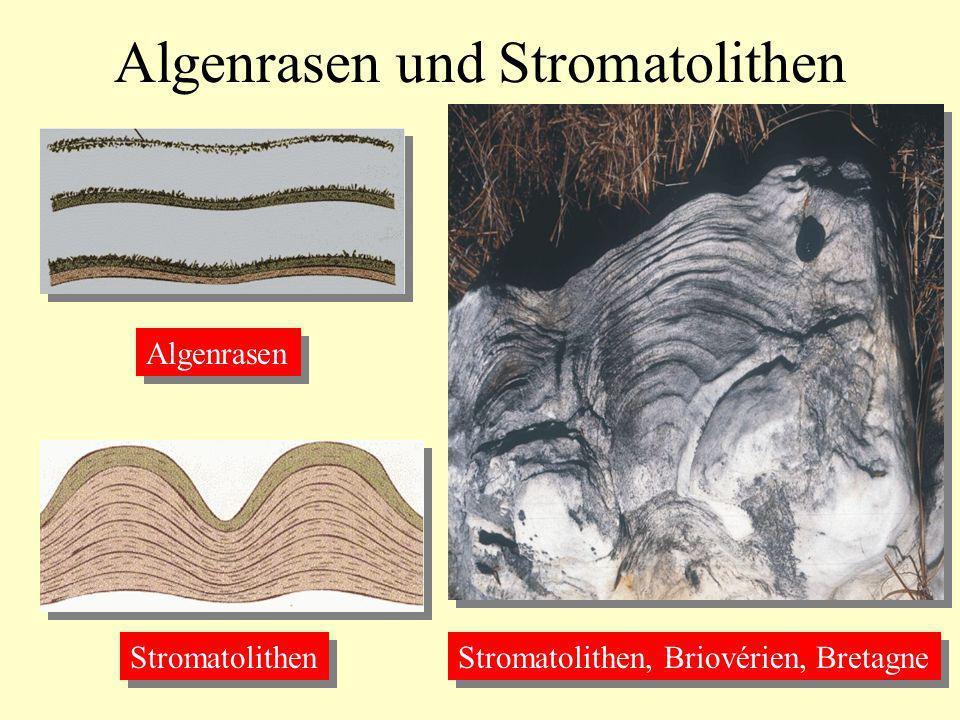 Algenrasen und Stromatolithen Algenrasen Stromatolithen Stromatolithen, Briovérien, Bretagne