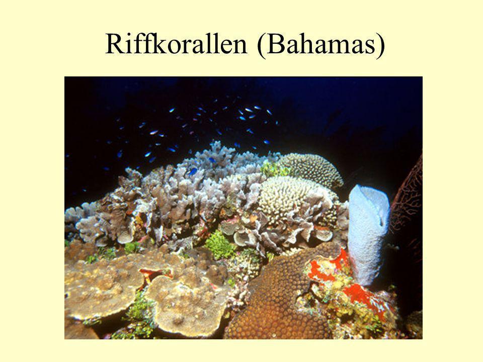 Riffkorallen (Bahamas)