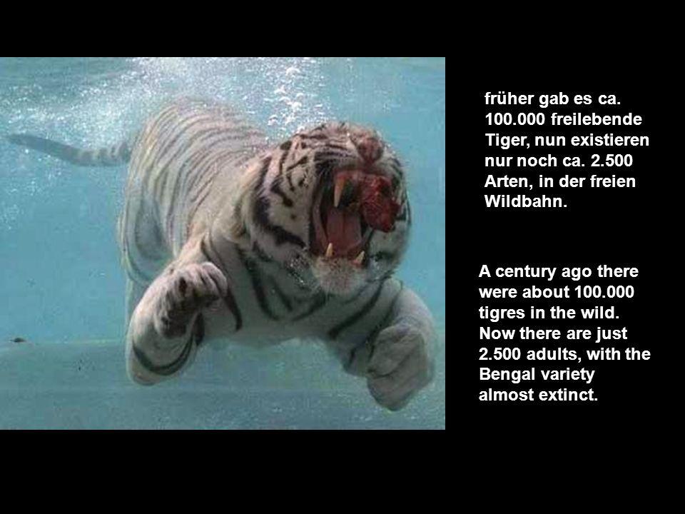 die Tragik unserer Zeit ist, dass man diese wunderschönen Tiere nur noch in Zoos beob- achten & bewundern kann. Tragically within our lifetimes, zoo m