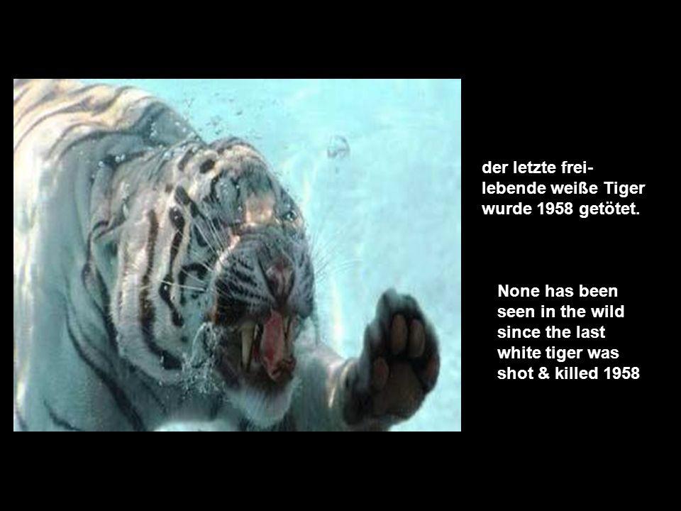 früher gab es ca. 100.000 freilebende Tiger, nun existieren nur noch ca. 2.500 Arten, in der freien Wildbahn. A century ago there were about 100.000 t