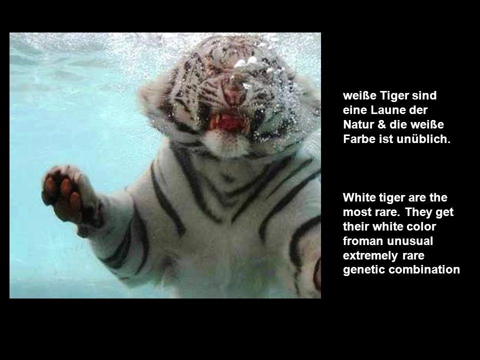 der letzte frei- lebende weiße Tiger wurde 1958 getötet. None has been seen in the wild since the last white tiger was shot & killed 1958