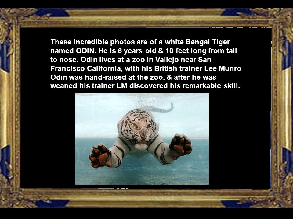 These incredible photos are of a white Bengal Tiger named ODIN.