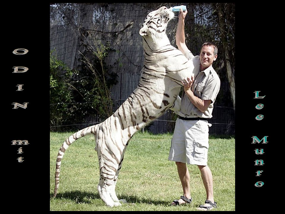 These incredible photos are of a white Bengal Tiger named ODIN. He is 6 years old & 10 feet long from tail to nose. Odin lives at a zoo in Vallejo nea