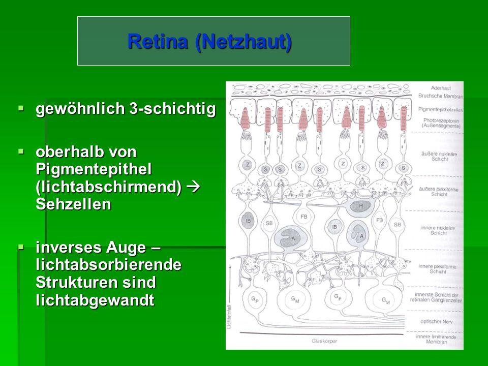 Choroidea (Aderhaut) 0,2 mm dick 0,2 mm dick Ist der Sclera innen aufgelagert Ist der Sclera innen aufgelagert Enthält viele Blutgefäße Enthält viele Blutgefäße Funktion: Funktion: Ernährung angrenzender Schichten (insbesondere der gefäßfreien Netzhaut)