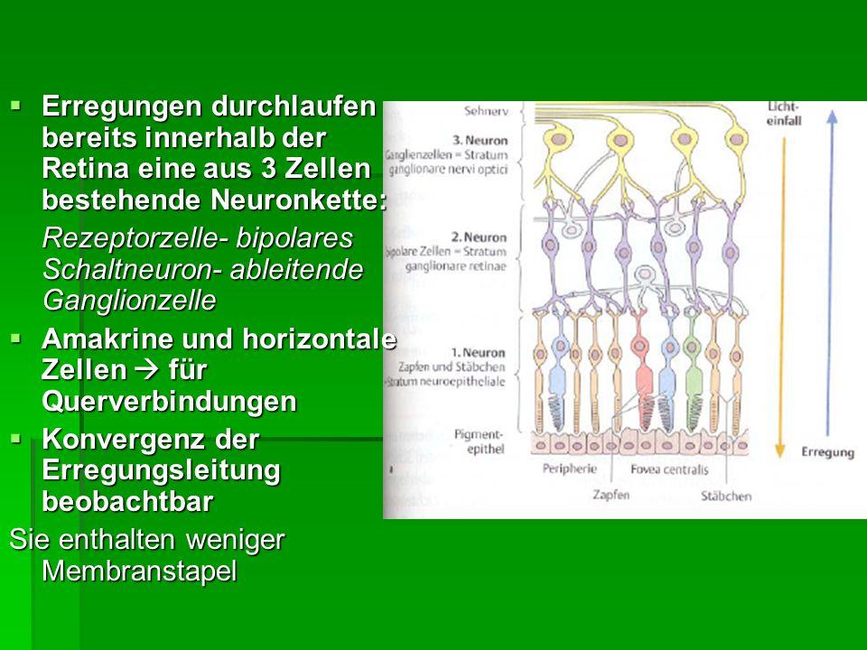 Retina (Netzhaut) gewöhnlich 3-schichtig gewöhnlich 3-schichtig oberhalb von Pigmentepithel (lichtabschirmend) Sehzellen oberhalb von Pigmentepithel (