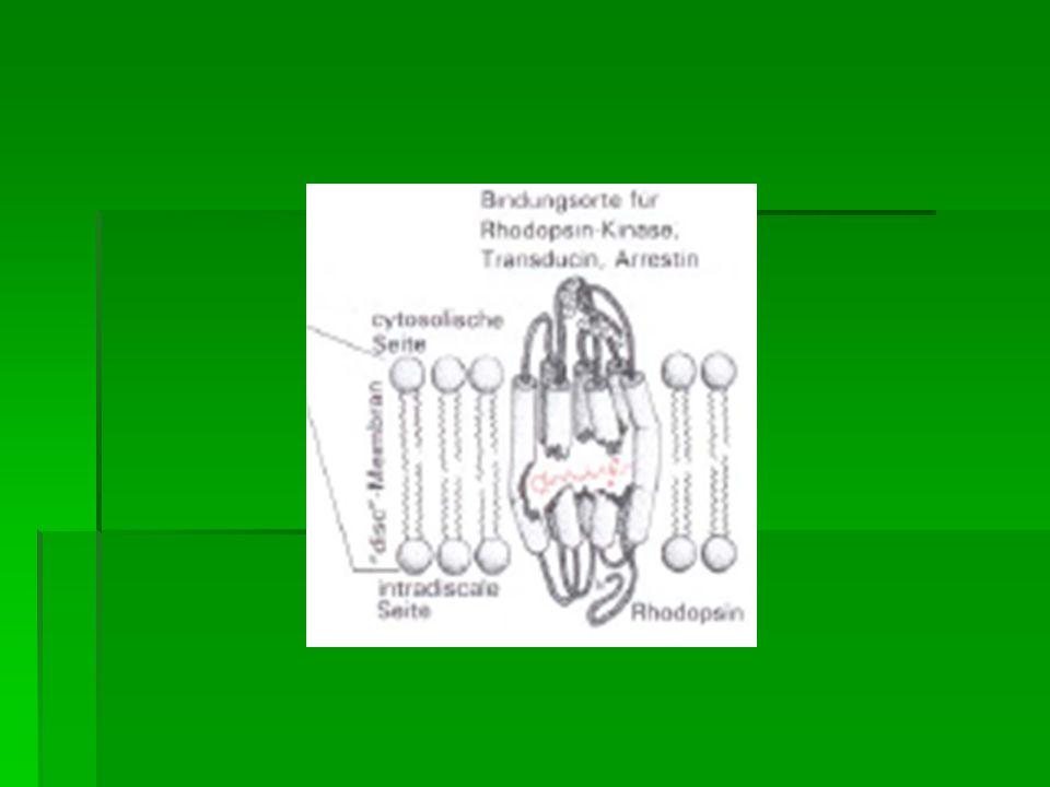 Stäbchen und Zapfen bestehen aus Außen- u. Innenglied Stäbchen und Zapfen bestehen aus Außen- u. Innenglied Erstere sind lichtabsorbierend Erstere sin