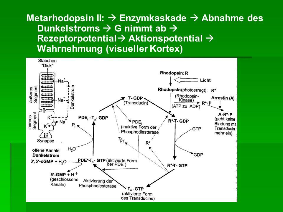 Abnahme des Dunkelstroms G nimmt ab Rezeptorpotential Aktionspotenial