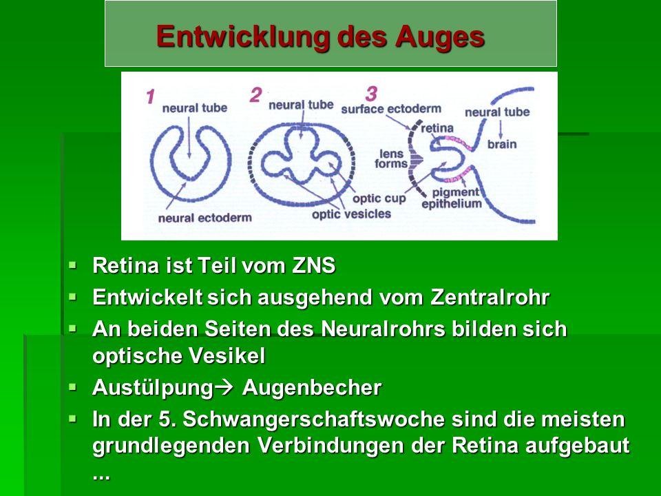 Sehbahn und visueller Kortex Beginnt in der Netzhaut und endet in d. Sehrinde im Bereich des Hinterhauptlappens (Großhirn) Beginnt in der Netzhaut und