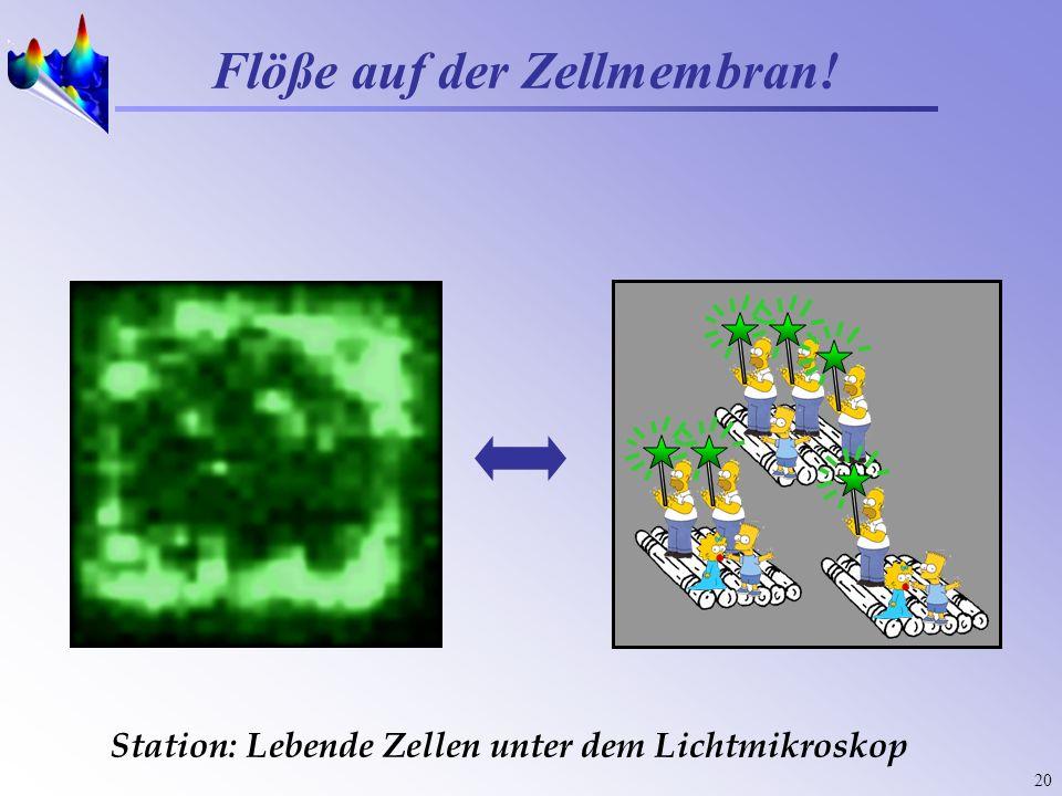 20 Station: Lebende Zellen unter dem Lichtmikroskop Flöße auf der Zellmembran!