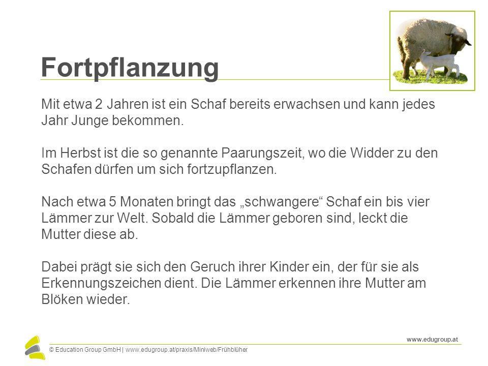 © Education Group GmbH   www.edugroup.at/praxis/Miniweb/Frühblüher www.edugroup.at Fortpflanzung Mit etwa 2 Jahren ist ein Schaf bereits erwachsen und