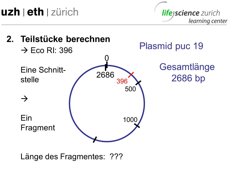 2. Teilstücke berechnen Eco RI: 396 0 Plasmid puc 19 Gesamtlänge 2686 bp 2686 500 1000 396