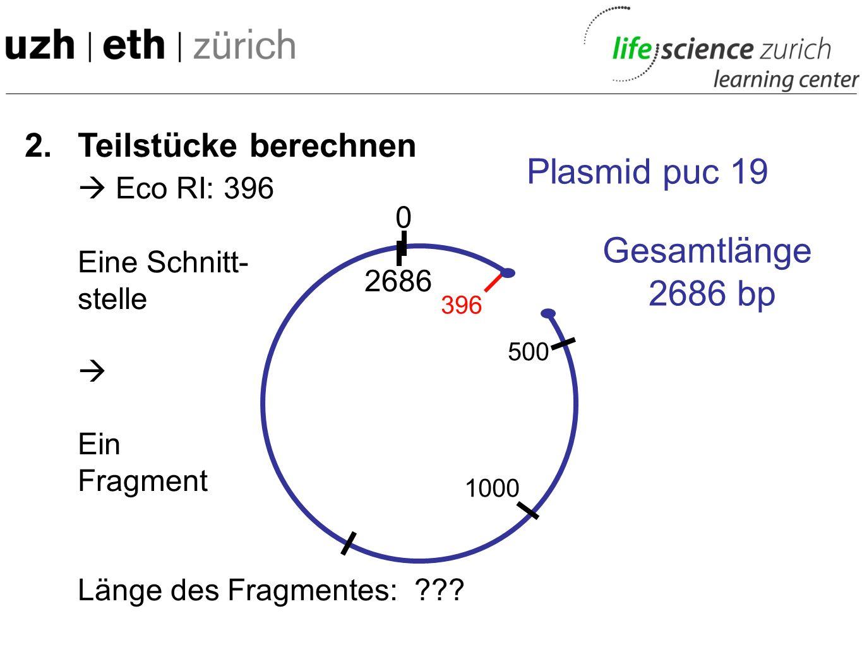 2. Teilstücke berechnen Eco RI: 396 Eine Schnitt- stelle Ein Fragment Länge des Fragmentes: ??? 0 Plasmid puc 19 Gesamtlänge 2686 bp 2686 500 1000 396