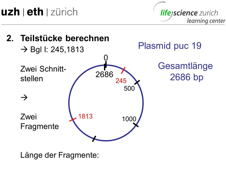 2. Teilstücke berechnen Eco RI: 396 Eine Schnitt- stelle Ein Fragment Länge des Fragmentes: 2686 bp 0 Plasmid puc 19 Gesamtlänge 2686 bp 2686 500 1000
