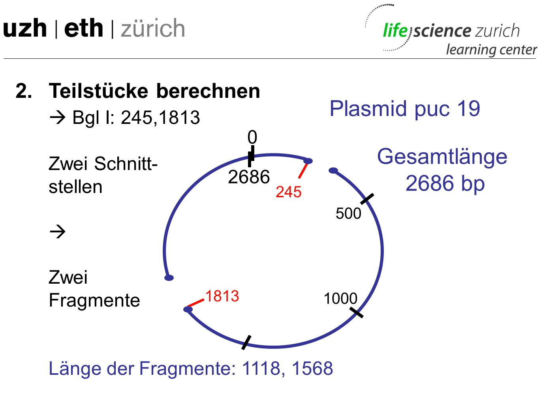 2. Teilstücke berechnen Bgl I: 245,1813 Zwei Schnitt- stellen Zwei Fragmente Länge der Fragmente: Gesamtlänge 2686 bp 0 Plasmid puc 19 2686 500 1000 2