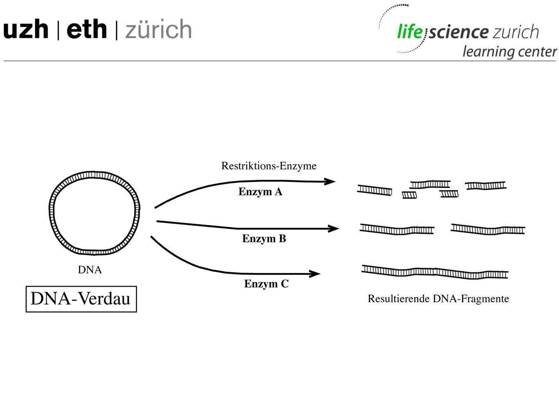 Bakterien produzieren menschliches Insulin Eine der ersten Anwendungen der Gentechnologie