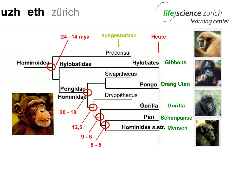 24 –14 mya Orang Utan Schimpanse Mensch Gibbons Gorilla ausgestorben Heute