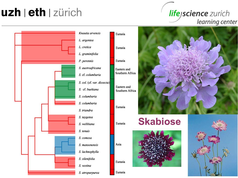 Beispiel Phylogenetik - Genmaterial sammeln - Molekularer Stammbaum - Eine morphologisch primitivere Art als Referenz - Verwandtschaftsanalyse - Herku