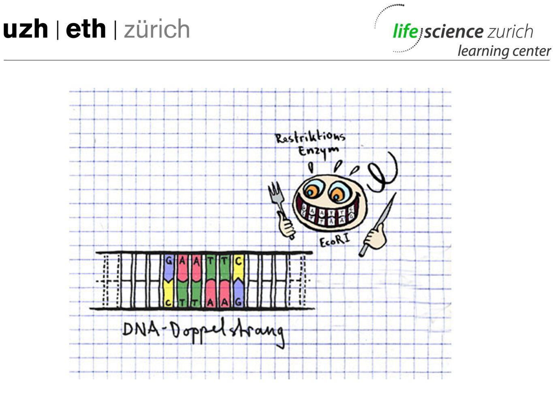 mtDNA-Experiment: Ueberblick -Mundschleimhaut gewonnen -mitochondriale DNA (mtDNA) isoliert -Gezielt eine sehr individuelle Region der mtDNA vervielfältigt (HVR1) -Vervielfältigte Sequenzen gelesen Analyse der Sequenzen