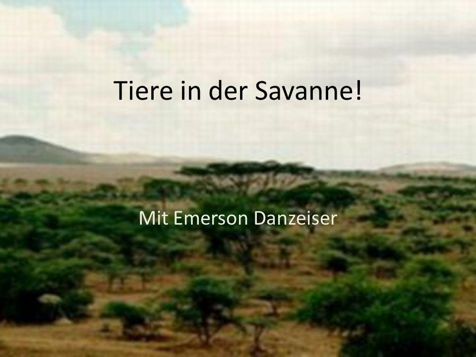 Tiere in der Savanne! Mit Emerson Danzeiser