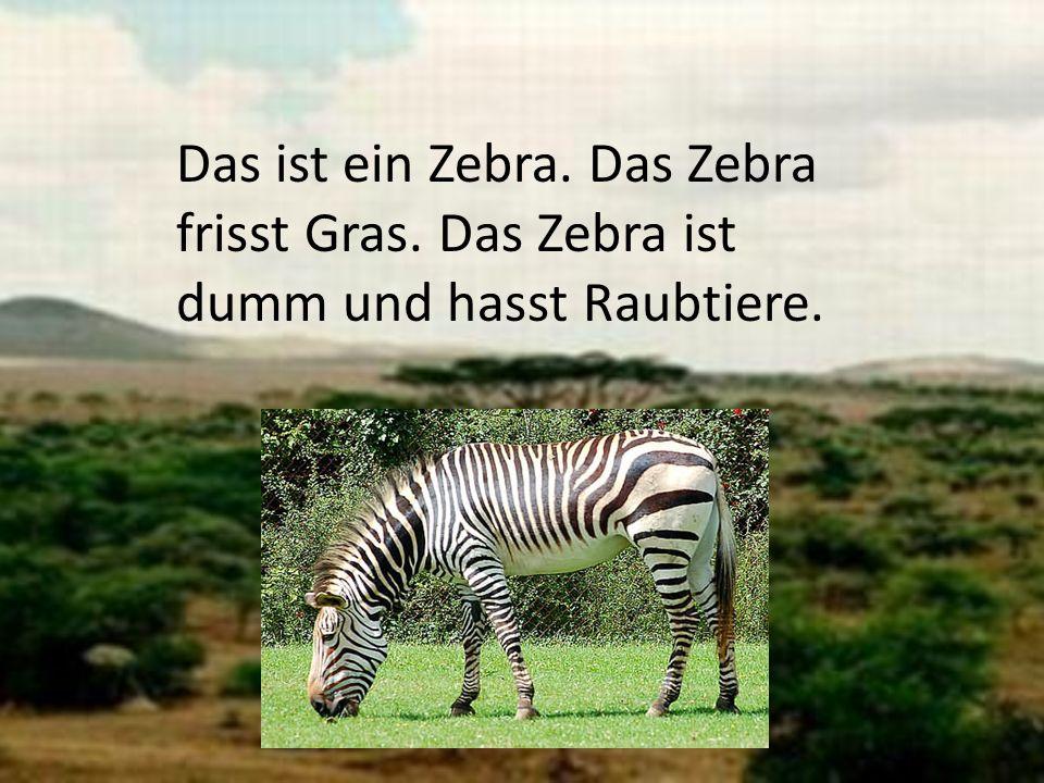 Das ist ein Zebra. Das Zebra frisst Gras. Das Zebra ist dumm und hasst Raubtiere.