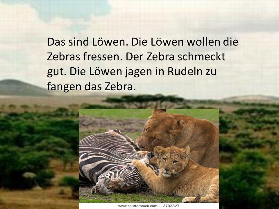 Das sind Löwen. Die Löwen wollen die Zebras fressen. Der Zebra schmeckt gut. Die Löwen jagen in Rudeln zu fangen das Zebra.