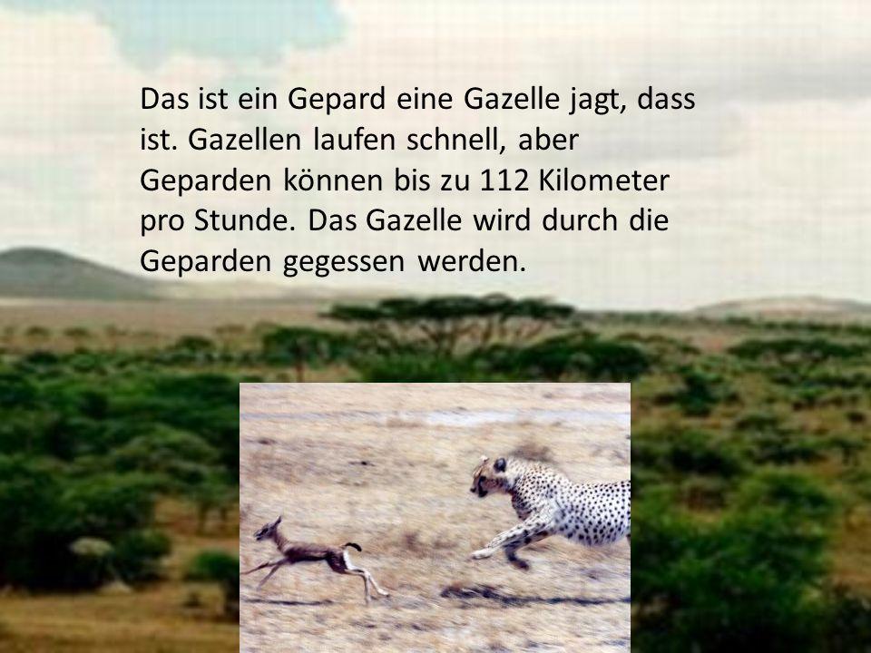 Das ist ein Gepard eine Gazelle jagt, dass ist. Gazellen laufen schnell, aber Geparden können bis zu 112 Kilometer pro Stunde. Das Gazelle wird durch