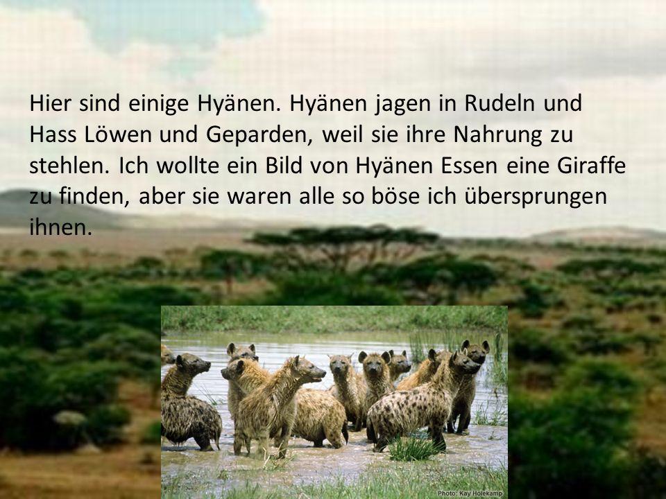 Hier sind einige Hyänen. Hyänen jagen in Rudeln und Hass Löwen und Geparden, weil sie ihre Nahrung zu stehlen. Ich wollte ein Bild von Hyänen Essen ei