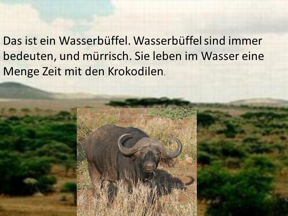 Das ist ein Wasserbüffel. Wasserbüffel sind immer bedeuten, und mürrisch. Sie leben im Wasser eine Menge Zeit mit den Krokodilen.