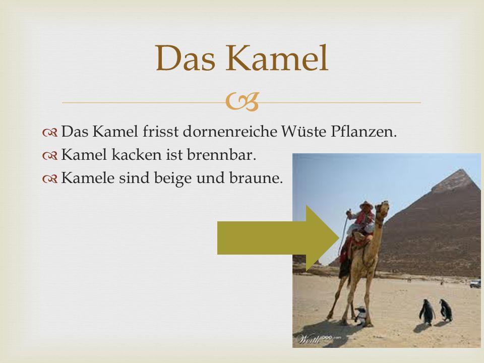 Das Kamel frisst dornenreiche Wüste Pflanzen. Kamel kacken ist brennbar. Kamele sind beige und braune. Das Kamel