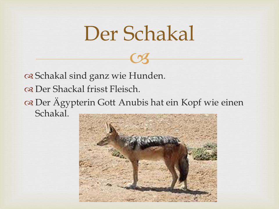 Schakal sind ganz wie Hunden. Der Shackal frisst Fleisch. Der Ägypterin Gott Anubis hat ein Kopf wie einen Schakal. Der Schakal