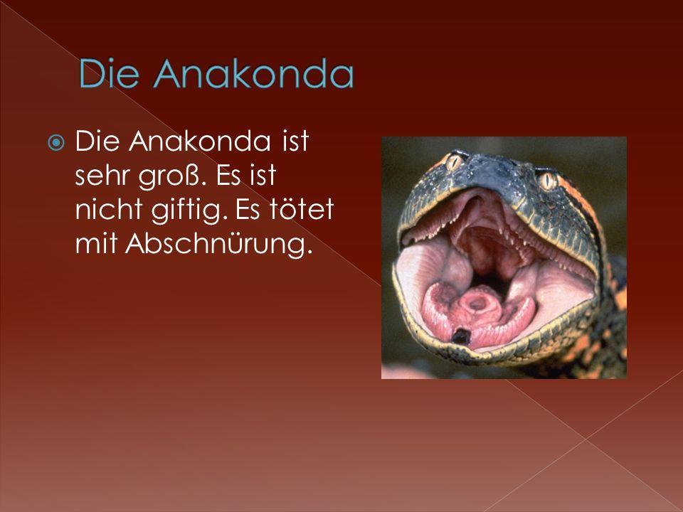 Die Anakonda ist sehr groß. Es ist nicht giftig. Es tötet mit Abschnürung.