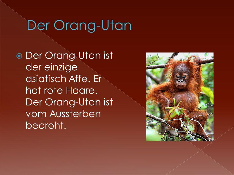 Der Orang-Utan ist der einzige asiatisch Affe. Er hat rote Haare. Der Orang-Utan ist vom Aussterben bedroht.