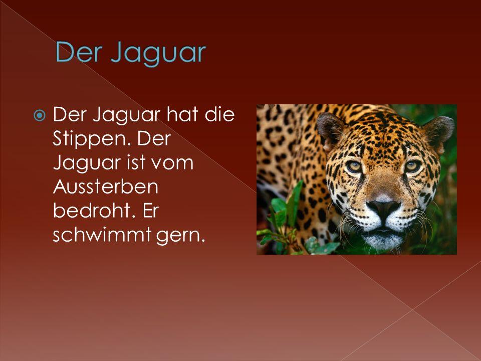 Der Jaguar hat die Stippen. Der Jaguar ist vom Aussterben bedroht. Er schwimmt gern.