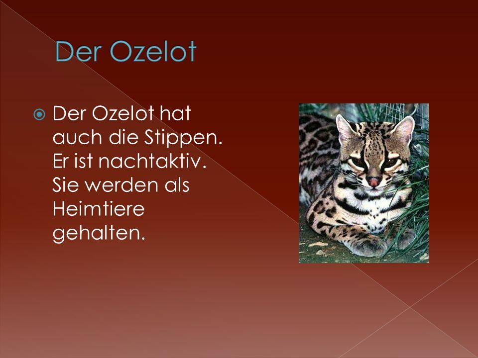 Der Ozelot hat auch die Stippen. Er ist nachtaktiv. Sie werden als Heimtiere gehalten.