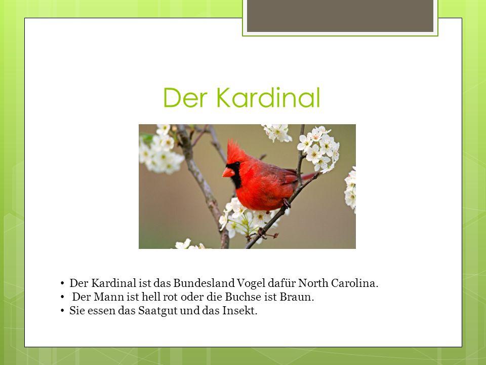 Der Kardinal Der Kardinal ist das Bundesland Vogel dafür North Carolina.