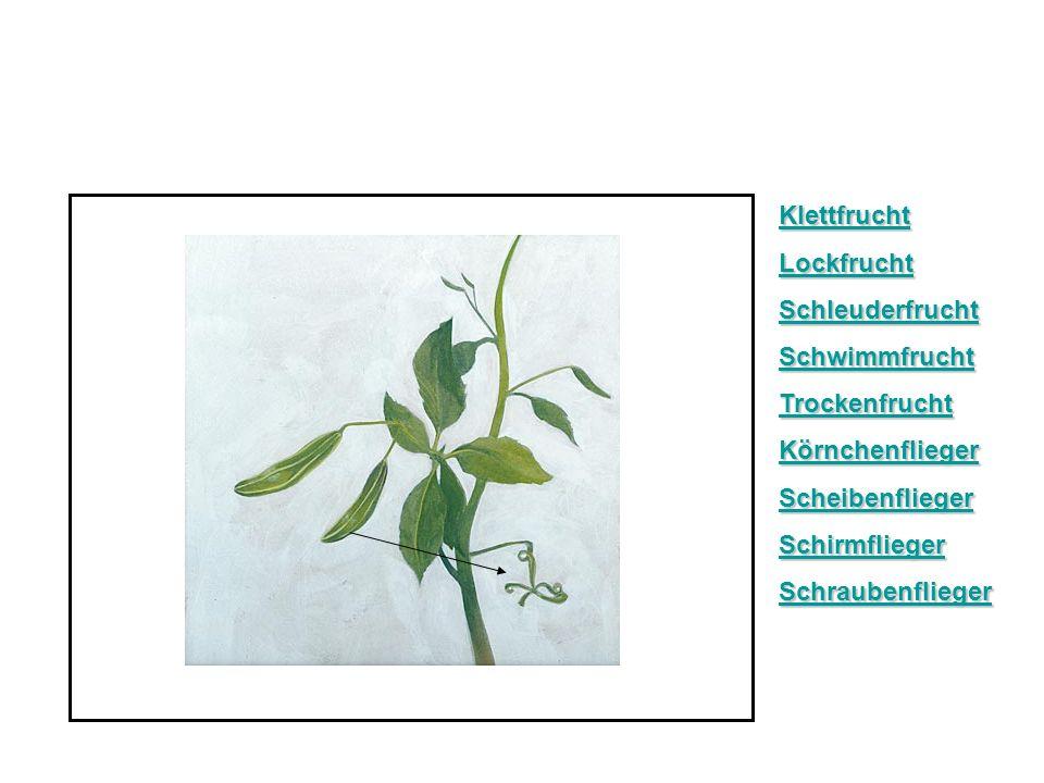 Klettfrucht Lockfrucht Schleuderfrucht Schwimmfrucht Trockenfrucht Körnchenflieger Scheibenflieger Schirmflieger Schraubenflieger
