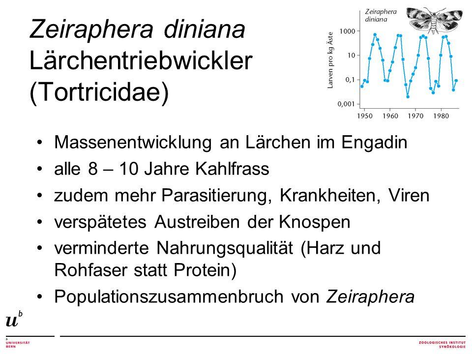Zeiraphera diniana Lärchentriebwickler (Tortricidae) Massenentwicklung an Lärchen im Engadin alle 8 – 10 Jahre Kahlfrass zudem mehr Parasitierung, Kra