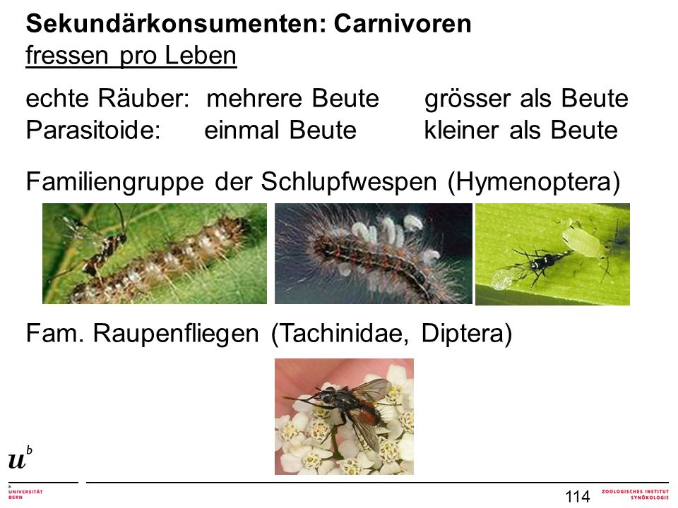 114 Sekundärkonsumenten: Carnivoren fressen pro Leben echte Räuber: mehrere Beute grösser als Beute Parasitoide: einmal Beute kleiner als Beute Famili