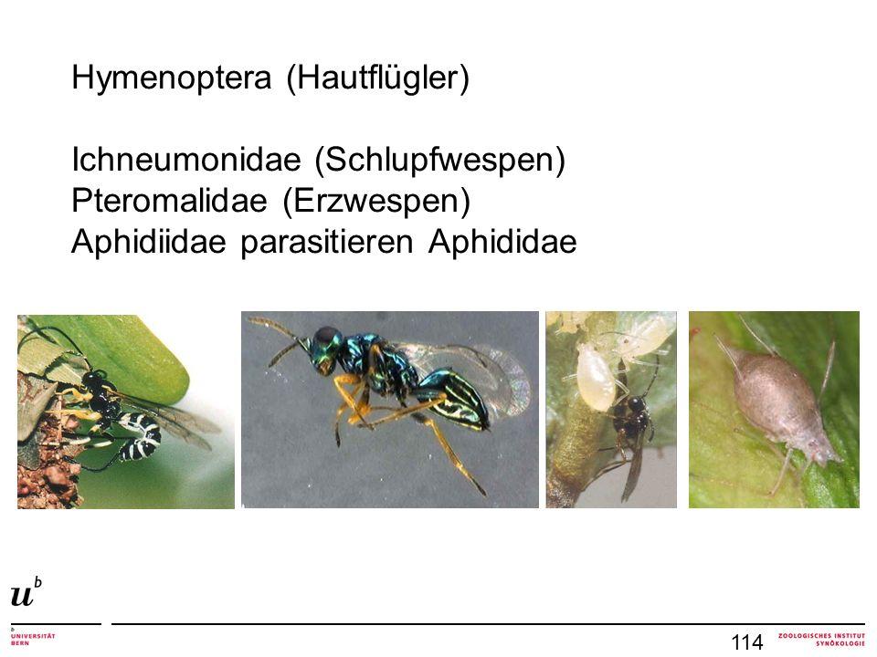 114 Hymenoptera (Hautflügler) Ichneumonidae (Schlupfwespen) Pteromalidae (Erzwespen) Aphidiidae parasitieren Aphididae
