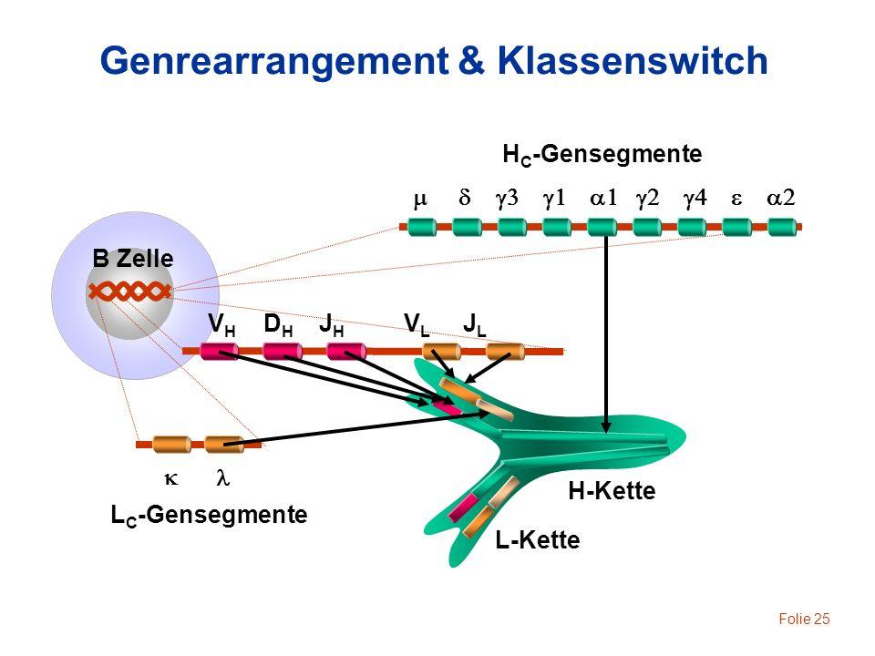 Folie 25 H-Kette L-Kette B Zelle V H D H J H V L J L Genrearrangement & Klassenswitch H C -Gensegmente L C -Gensegmente