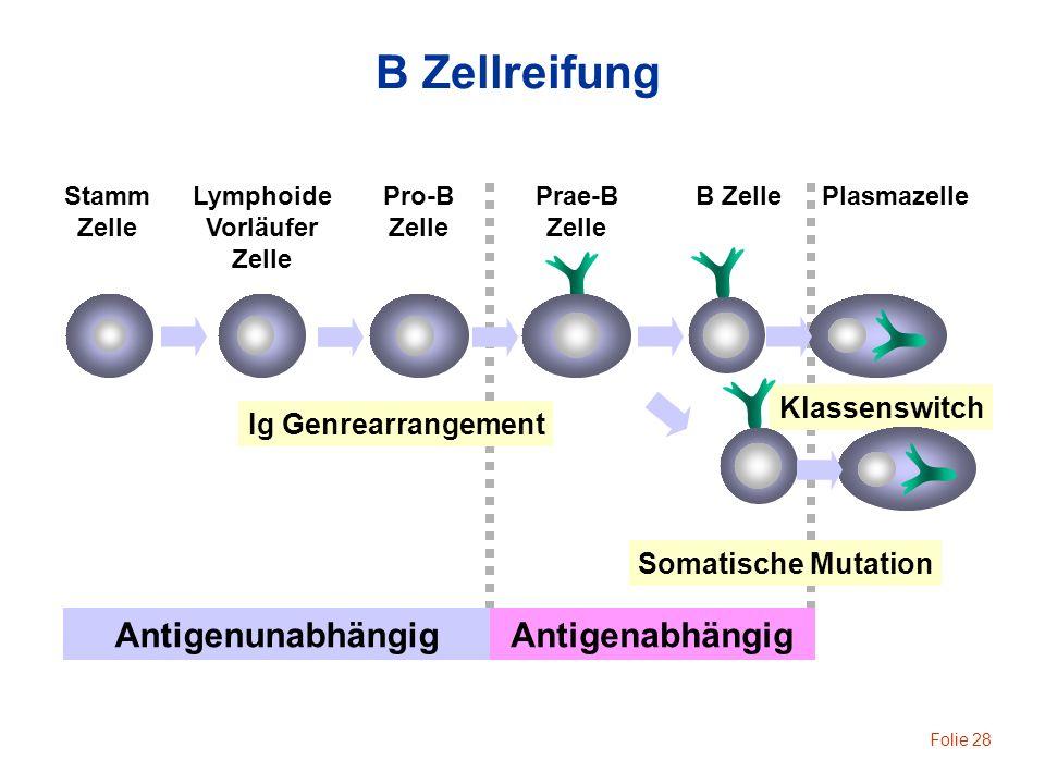 Folie 28 B Zellreifung B ZelleStamm Zelle PlasmazellePrae-B Zelle Pro-B Zelle Lymphoide Vorläufer Zelle Ig Genrearrangement AntigenunabhängigAntigenab