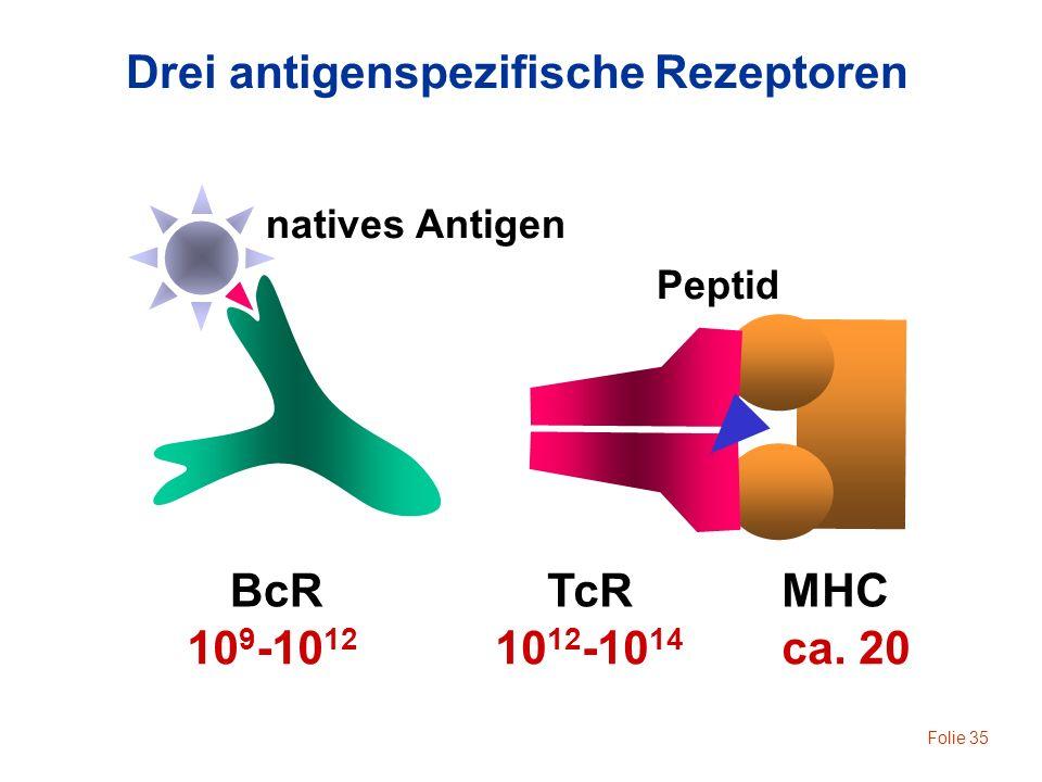 Folie 35 BcRMHCTcR Drei antigenspezifische Rezeptoren 10 9 -10 12 10 12 -10 14 ca. 20 natives Antigen Peptid