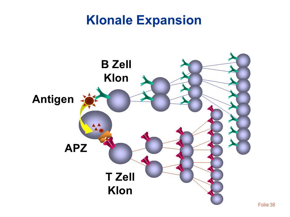 Folie 38 Klonale Expansion Antigen B Zell Klon T Zell Klon APZ