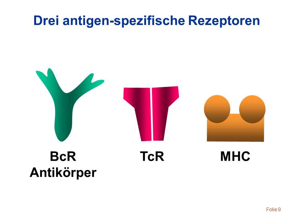 Folie 10 Antigen-spezifische Zellen BcR = Antikörper MHCTcR T Zellen B Zellen kernhaltige Zellen