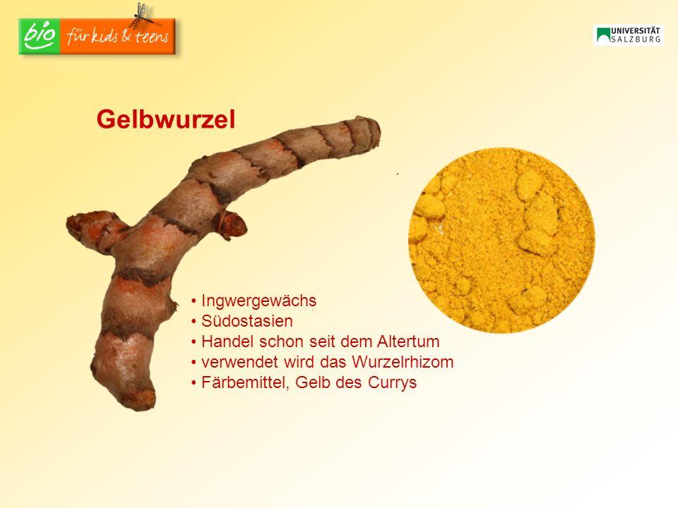 Ingwergewächs Südostasien Handel schon seit dem Altertum verwendet wird das Wurzelrhizom Färbemittel, Gelb des Currys Gelbwurzel