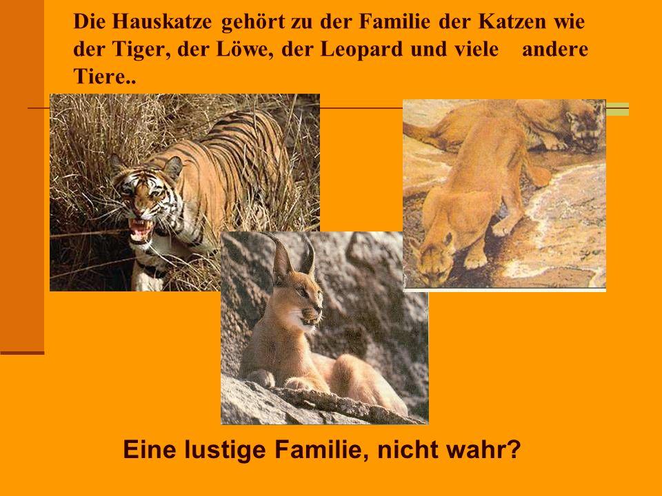 Die Hauskatze gehört zu der Familie der Katzen wie der Tiger, der Löwe, der Leopard und viele andere Tiere..
