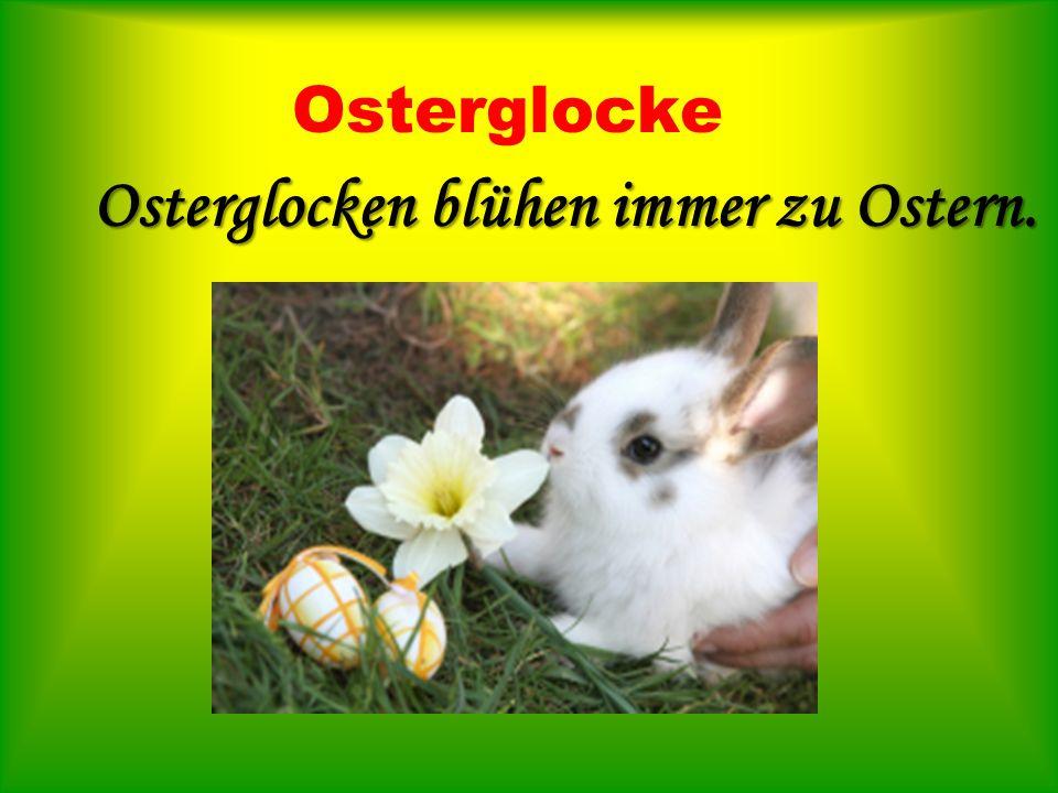 Osterglocke Osterglocken blühen immer zu Ostern.
