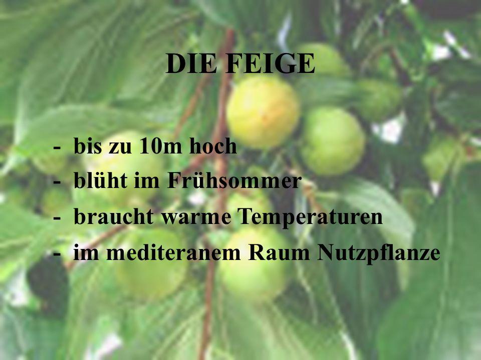 DIE FEIGE - lat. Ficus carica - Heimat Asien & Mittelmeer - grüne und violette Früchte - getrocknet und frisch erhältlich